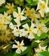 Winterharter Jasmin Star of Toscane®,1 Pflanze (2)