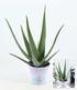 XXL Aloe Vera, 40-50 cm hoch,1 Pflanze (2)