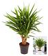 Yuccapalme - verzweigt,1 Pflanze (2)