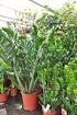 Zamioculca (Glücksfeder) - Zamioculcas zamiifolia (2)