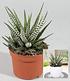 """Zebra-Haworthia """"Big Band"""",1 Pflanze (2)"""