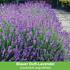 Mein schöner Garten Duftendes Staudenbeet, 22 Pflanzen (8)
