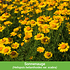 """Mein schöner Garten Gartenbeet """"Insektenweide"""", 31 Knollen + 1 Pflanze (8)"""