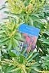 Schattenglöckchen (Forest Flame) - Pieris japonica Forest Flame (8)