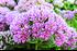 Staudenbeet Ausgewogener Andrang, 12 Pflanzen (8)