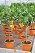 Zitronenbaum (Buddhas Hand) - Citrus medica Digitata (8)