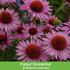 Mein schöner Garten Duftendes Staudenbeet, 22 Pflanzen (7)