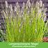 """Mein schöner Garten Staudenbeet """"Sunshine"""", 18 Pflanzen (7)"""