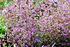 Staudenbeet Ausgewogener Andrang, 12 Pflanzen (7)
