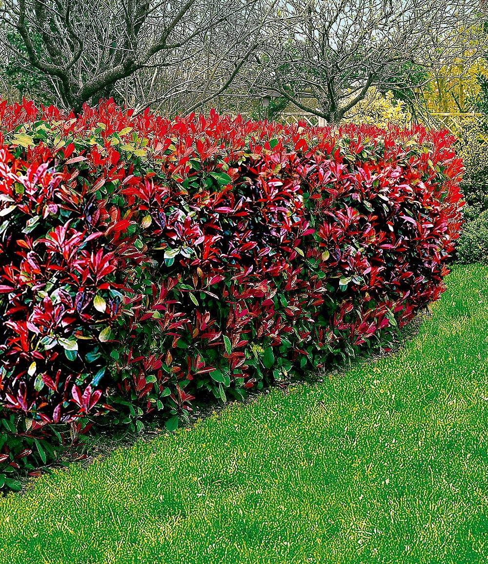 Mein schöner Garten Photinia Hecken-Set \