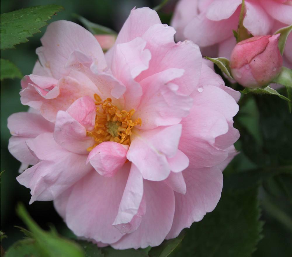 Rose John Davis (im grossen Container) günstig online ...