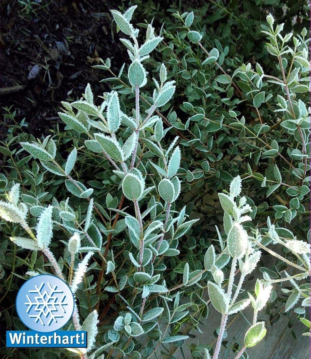 winterharter bio eukalyptus 1pflanze g nstig online kaufen. Black Bedroom Furniture Sets. Home Design Ideas