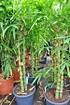 Bambus (Buddhas Bauch Bambus) - Bambusa ventricosa (4)