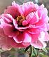 """Baum-Päonie """"Pink"""",1 Knolle (4)"""