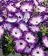 """Bienen-Petunie """"Purple Storm"""",3 Pflanzen (4)"""