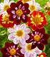 """Bienenfreundliche Zwiebelblumen """"BunterMix"""",38 Zwiebeln (4)"""