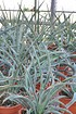 Blaue Yucca (Blaue Palmlilie) - Yucca baccata (4)