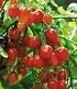 Cocktail-Tomaten-Kollektion,4 Pflanzen (4)
