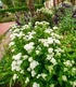 """Eupatorium """"Lucky Melody®"""",2 Pflanzen (4)"""