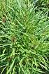 Farnblättrige Faulbaum Fine Line ® - Rhamnus frangula (4)