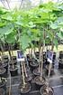Feigenbaum (Cuello Dama Negro) Blaue Frucht (4)