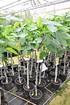 Feigenbaum (Gota de Miel) Honig feige - Ficus carica Gota de Miel (4)