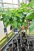 Feigenbaum (Napolitana) blaueFrucht - Ficus carica Napolitana (4)