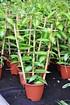 Gewürzvanille (Echte Vanille) - Vanilla planifolia (4)