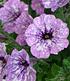 """Hänge-Petunie Hellviolette """"LavenderSKY®"""",3 Pflanzen (4)"""