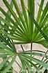 Hanfpalme (Fortunei) winterhart - Trachycarpus fortunei (4)