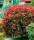 Immergrüne Hecken-Kollektion,2 Pflanzen (4)