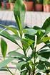 Japanischer Papierbusch - Edgeworthia chrysantha Grandiflora (4)