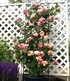 "Kletter-Rose ""Julie Andrieu®"",1 Pflanze (4)"
