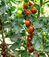"Lieblings-Tomate ""Venusbrust"",1 Pflanze (4)"