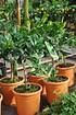 Limettenbaum (Kaffir Limette) - Citrus hystrix (4)
