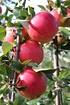 Lubera Apfel Paradis Elegance als Hochstamm, 3-jähr Hochstamm (4)
