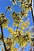 Lubera Gelbblühende Zaubernuss 'Arnold Promise', starke Pflanze im 5l Topf (4)