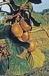 Lubera Kiwi Hayward (weiblich, braucht Befruchter Tomuri) (4)