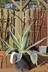 Lubera Panaschierte Agave, mediterrane Kübelpflanze im 3 l-Topf (4)