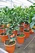Mandarinenbaum Satsuma Okitsu - Citrus unshiu Okitsu (4)