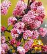 Mein Schöner Garten Bienenfreundliche Hecke im Set, 5 Pflanzen (4)