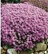 Mein Schöner Garten Bodendecker-Set Thymian, 9 Pflanzen (4)