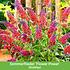 """Mein schöner Garten Gartenbeet """"Insektenweide"""", 31 Knollen + 1 Pflanze (4)"""