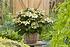Mein schöner Garten Hortensien Doppio 2-er Set 'Pastel Delight' (4)