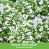 Mein schöner Garten Niedrige Staudenklassiker, 14 Pflanzen (4)