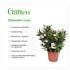 Mein schöner Garten Oleander Nerium Rosa (4)