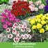 """Mein schöner Garten Staudenbeet """"Bauerngarten"""", 20 Pflanzen (4)"""