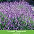 """Mein schöner Garten Staudenbeet """"Blooms for Months"""", 29 Pflanzen (4)"""