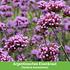 """Mein schöner Garten Staudenbeet """"Sunshine"""", 18 Pflanzen (4)"""