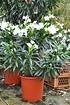 Oleander (weiß) (4)